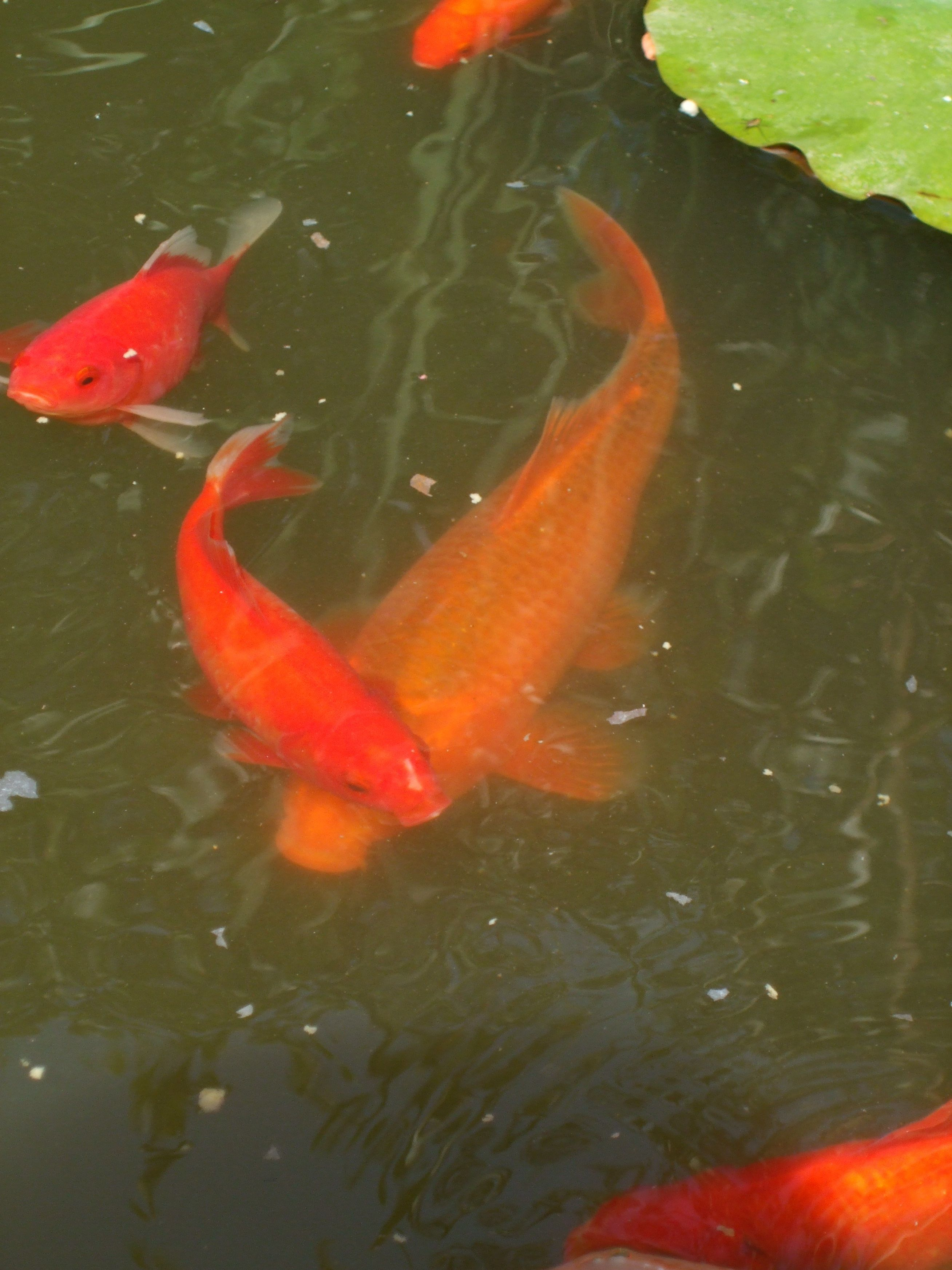 Bassin for Carpe koi orange